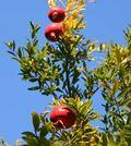 Pomegranatetree